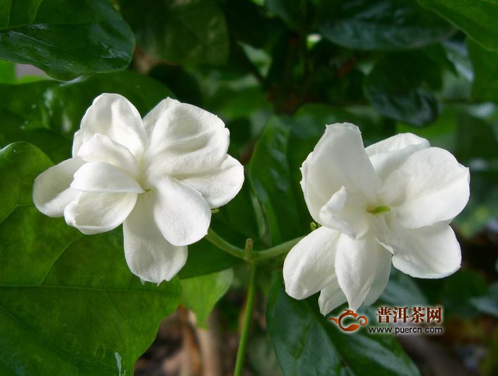 最香的茉莉品种,茉莉的主要品种