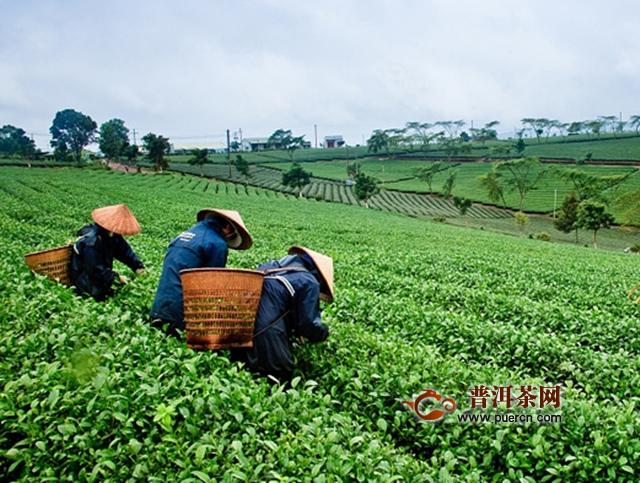 白茶加工工艺流程