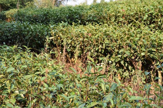 普洱市思茅区:茶旅融合,拓宽茶的广度,提升游的品质