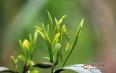 安化黑茶为什么有白色霉?安化黑茶发霉如何处理