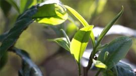 2019中国茶叶行业发展现状及企业竞争格局分析
