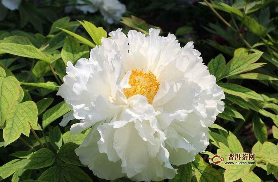 白牡丹花的功效与作用