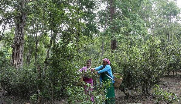 普洱市:全力推动景迈山古茶林文化景观保护
