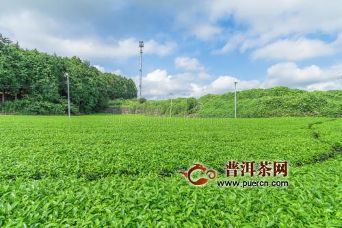 永川秀芽是什么茶?有什么特点?