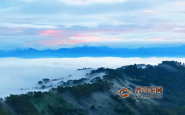 柏联普洱  不只长在高山云雾间