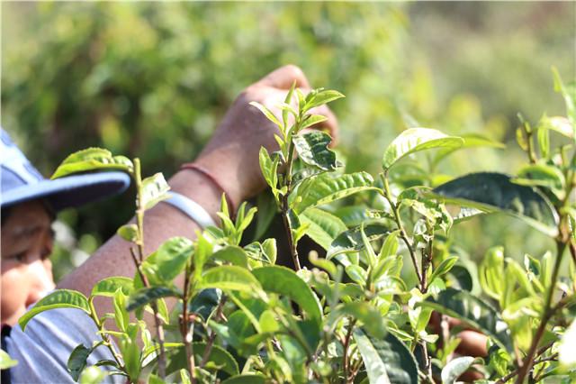 浅谈普洱茶产业的结构主义变迁