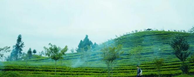 贵州茶园低温防冻技术措施