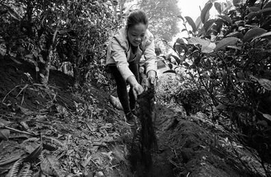 勐海县西定乡暖和村推进生态茶园建设