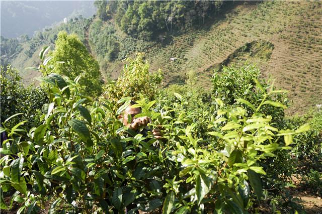 李远烈:倾力推动云茶产业发展