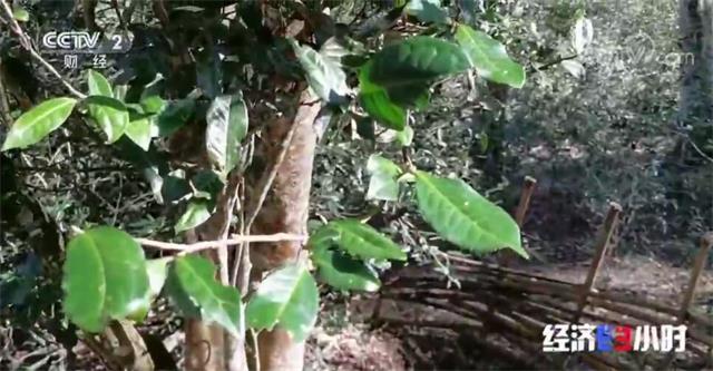 西双版纳州:采取强有力措施开展打击毁林种茶破坏森林资源违法犯罪行为专项行动