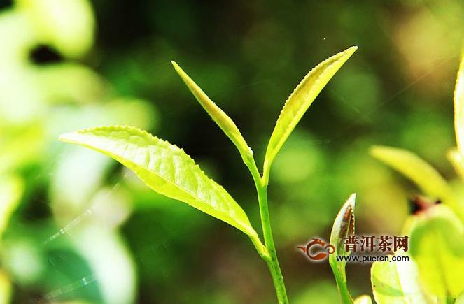 水金龟茶叶多少钱一斤?