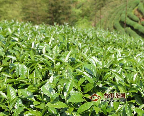 水金龟武夷岩茶作用