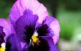 紫罗兰花茶搭配,紫罗兰花茶的泡法