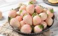 白草莓价格多少钱一斤?市场价格行情走势