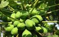 六安木瓜价格,木瓜历史价格分析