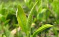 成都竹叶青多少钱一斤?如何分辨竹叶青茶?