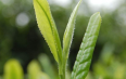 喝绿茶对人体好吗?