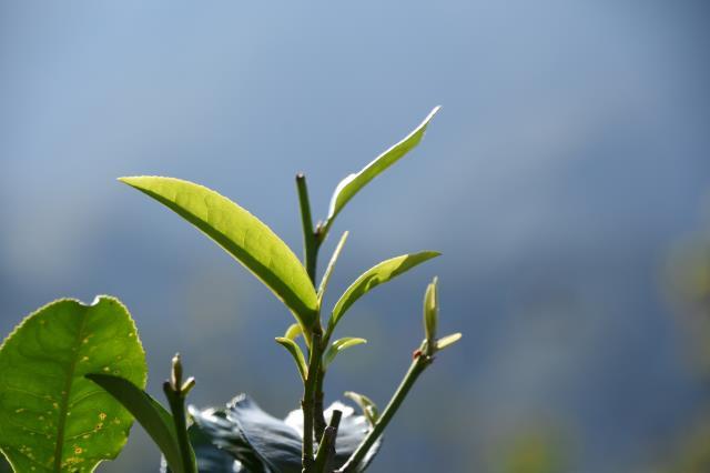 亚马逊等28家公司回应国际茶叶委员会关于使用区块链等技术追溯茶叶的意向书