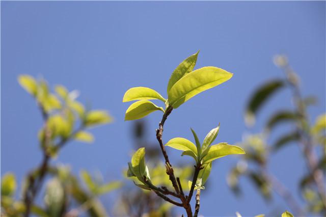 国际茶日确立 2018年全球茶叶贸易 茶叶快消品市场演变