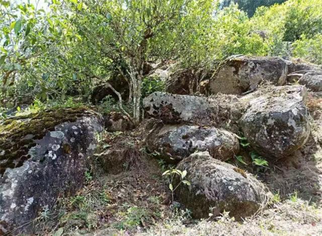 长在烂石上的茶树就比较好吗?这个现象的背后有玄机