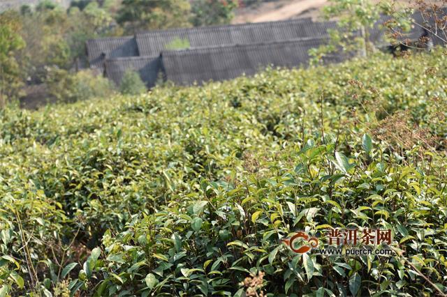 「澳门新葡亰60776平台」云北要挨制普洱茶等六个千亿