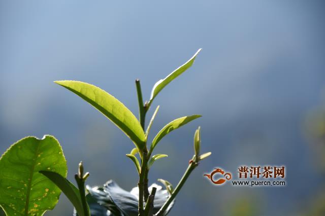 云南要打造普洱茶等六个千亿涉农产业 2020年农民人均收入超1.3万