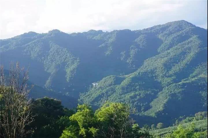 基诺山发力,大力发展普洱茶