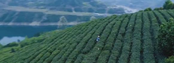 高香绿茶微视频火了