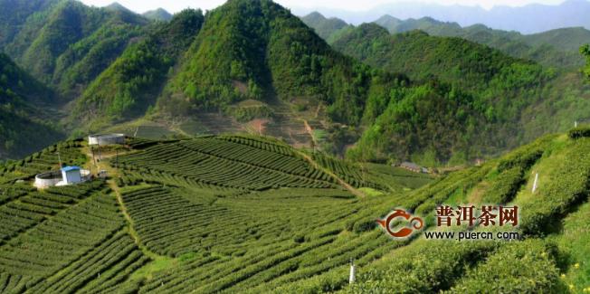 年产值超3亿元 海青镇这样用一片茶叶成就一个产业