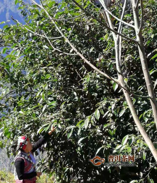 云南福贡县:老茶树发出致富芽