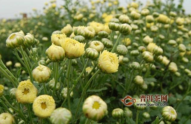 洋甘菊和菊花的区别