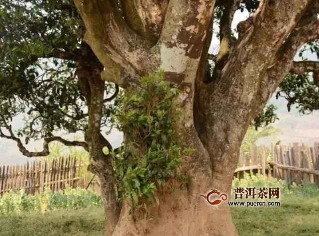 百年古茶树的背后,是你想象不到的价值