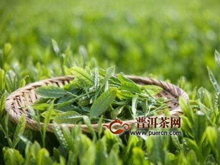 南山寿眉茶是如何制作的