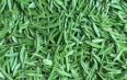 祁门红茶核心产地