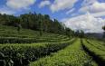 离天空最近的茶园,家家种上脱贫茶