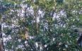云南弥渡县大核桃箐村:古茶树撑起茶产业