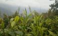 马鞍山古茶山:周边村庄规划试点工作启动