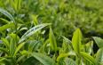 """""""北茶36""""海青茶树新品种通过国家品种登记"""