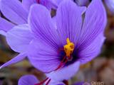 藏红花枸杞菊花茶功效