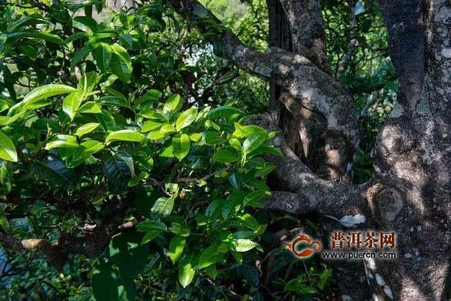 种植新茶园才是可持续发展的长久良策