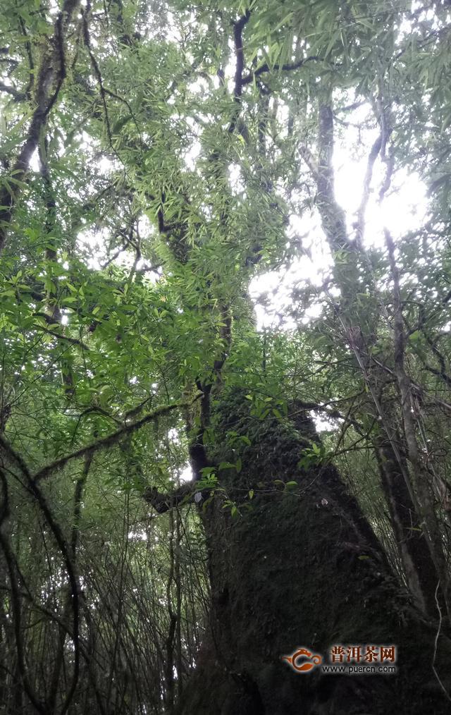 普洱镇沅千年野生普洱茶古茶林内景