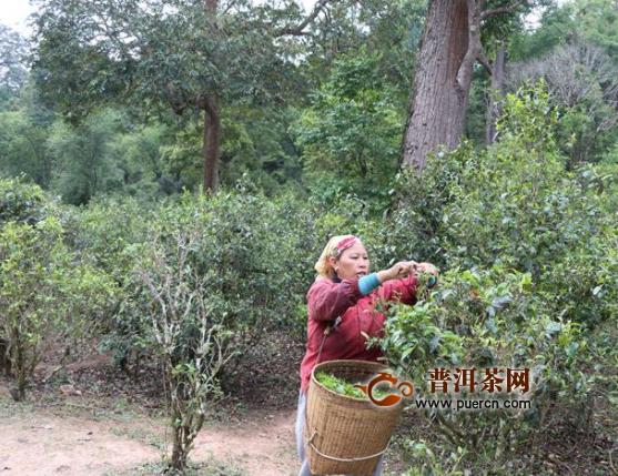 """2019年普洱的茶只能用""""荣耀""""形容"""