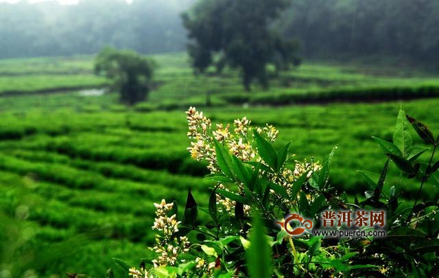 四川茶产业力争2020年综合产值突破900亿元