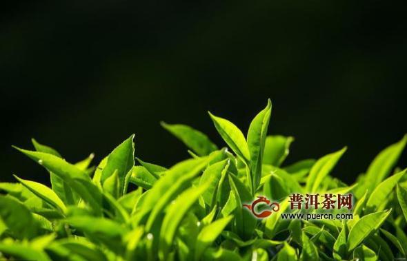 白茶成为当下茶行业的最大风口之一