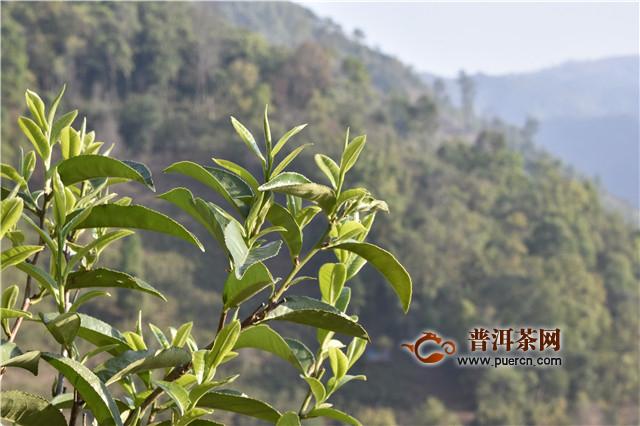 普洱茶产业保持健康有序发展