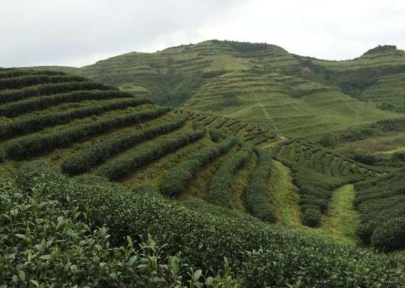 云南普洱再推四个普洱茶品牌 从茶园到茶杯全程可追溯