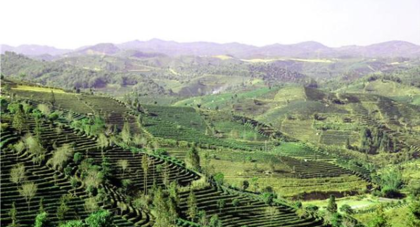 普洱市的万亩茶园带动经济发展