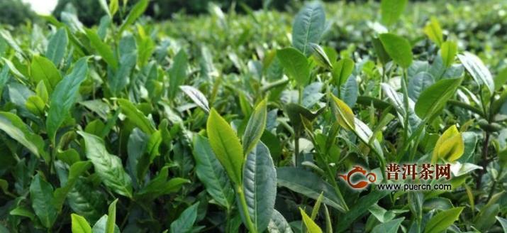 丹寨:立足生态种茶叶激发产业新活力
