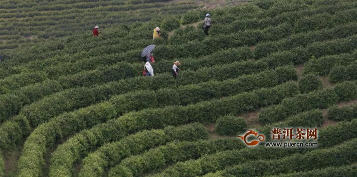 贞丰县茶叶种植面积新增1.3万余亩