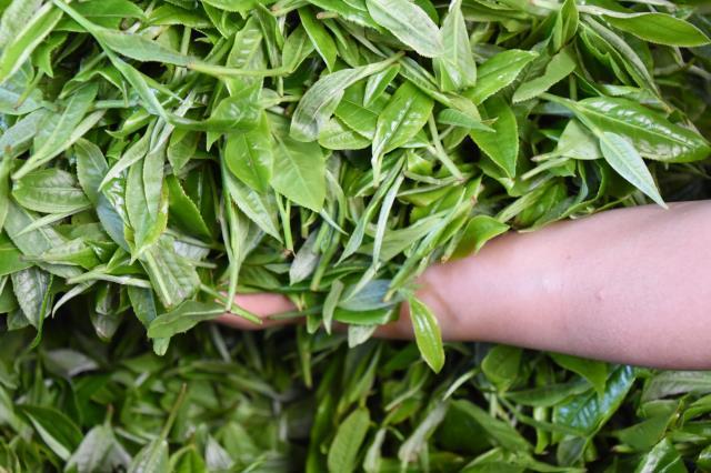 普洱茶绿茶化,严重偏离普洱茶本质!业界应该如何挽救?